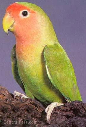 O 39 paradis des oiseaux esp ces apprivoisement for Oiseau vert et rouge
